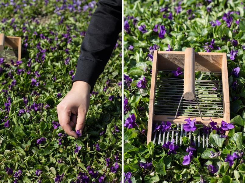 campo e raccolta a mano delle violette