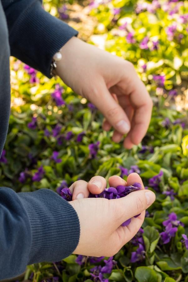 raccolta a mano delle violette nel campo